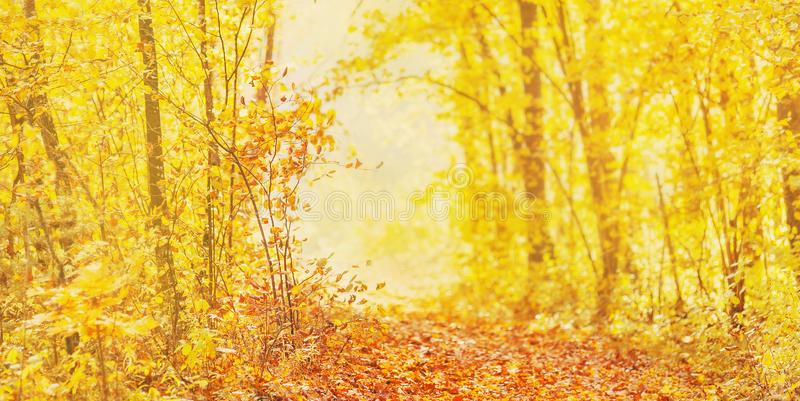 Beautiful bright autumn panorama. Yellow and orange trees in forest. Autumn leaves fall from branches on a sunny day. Orange foliage on the ground. Golden stock image