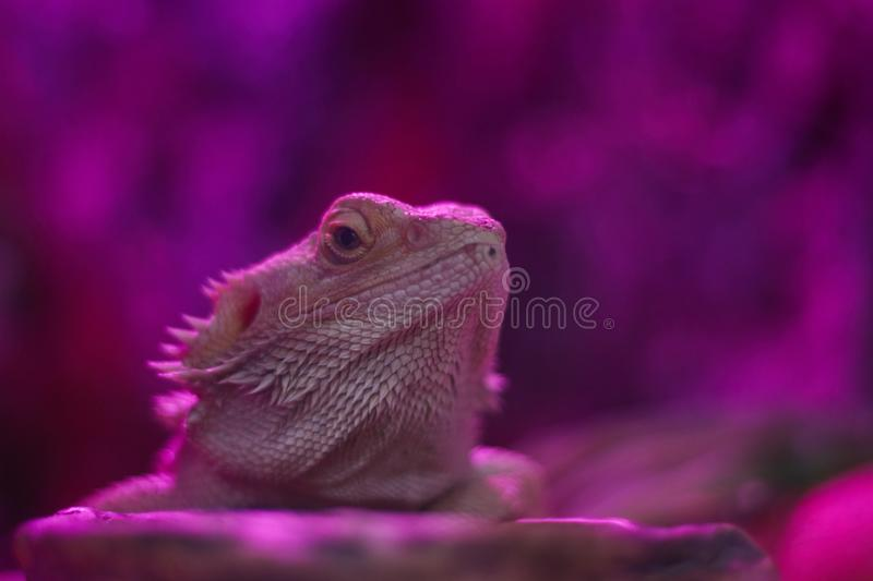 Beautiful bright chameleon in neon colors. Multicolor beautiful reptile chameleon with bright skin. Tropical animal in neon light royalty free stock photo