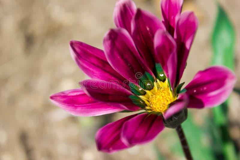 Beautiful bright chamomile gazania flower close up, holiday gift. Flowers royalty free stock photos