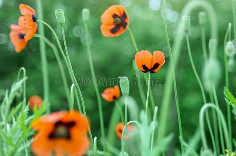 Beautiful bright color natural background with red poppy flowers and green grass, defocused blurred background, sunlight and bokeh. Close up stock photography
