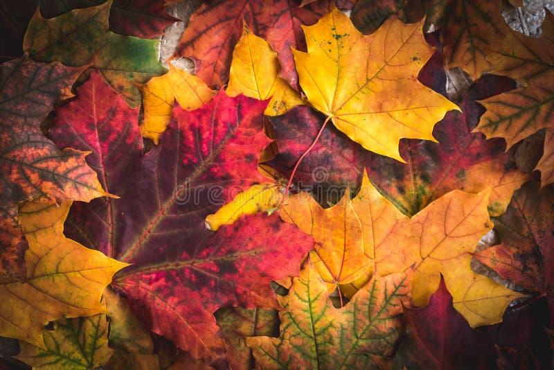 Beautiful bright Colorful Autumn Leaves background. Beautiful bright Colorful Autumn Leaves fall background, leaf, orange, season, maple, golden, flora, nature stock images