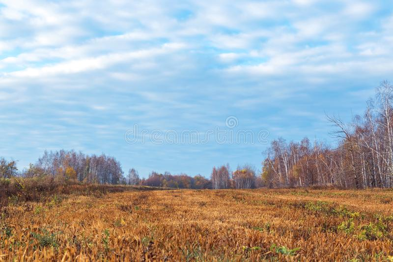 Beautiful bright colorful morning autumn landscape. Birch grove in nature outdoors in a yellow golden forest in fine warm weather. In a meadow against a blue royalty free stock images