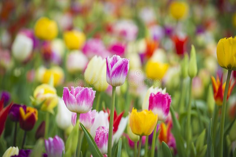 Beautiful bright colorful multicolored yellow, white, red, purple, pink tulips on a large flower-bed in the city garden, close up royalty free stock photo