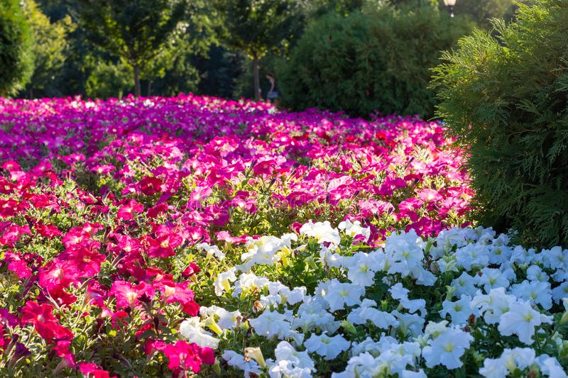 Beautiful bright flower bed colors Impatiens. Green trees around the edge and inside are red and white flowers are separate. royalty free stock photo