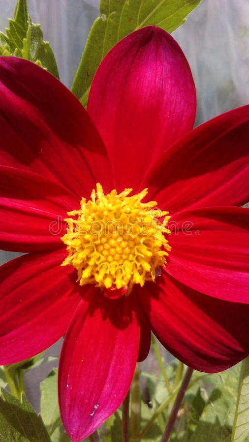 Beautiful bright flower with red-pink petals. royalty free stock images