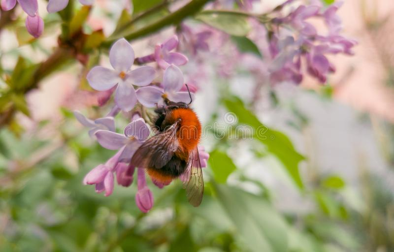 Beautiful bright fluffy bumblebee sitting on the flowers of pink lilac. Fragrant spring. Flowering lilac bushes in the city.  royalty free stock photo