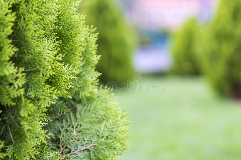 Beautiful bright fresh green decorative bushes lit by sun on blurred green background on sunny spring or summer day. Gardening art. And agriculture concept stock photography