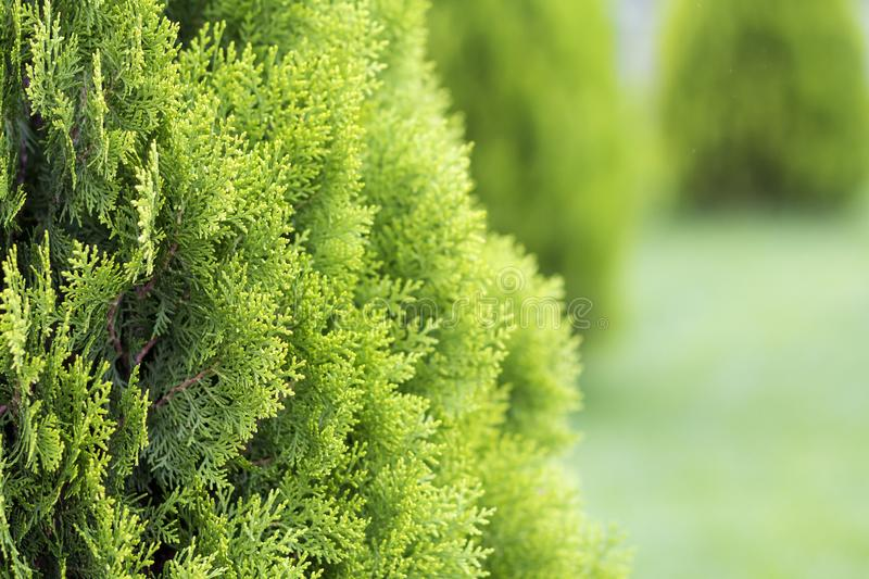 Beautiful bright fresh green decorative bushes lit by sun on blurred green background on sunny spring or summer day. Gardening art. And agriculture concept stock photo