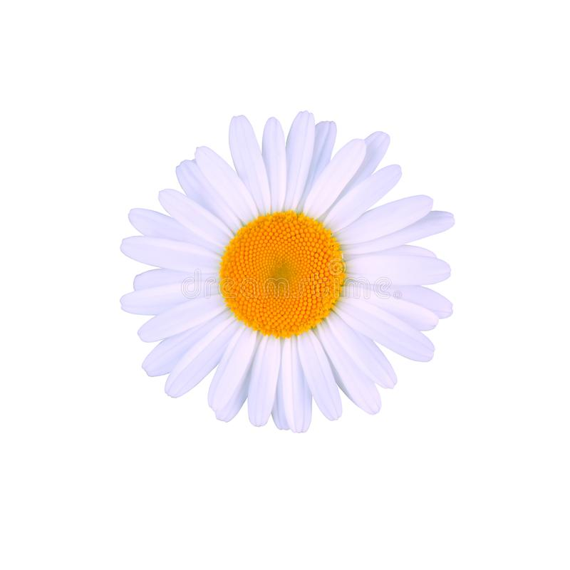 Beautiful bright fresh one camomile flower on top of a white background. Isolated. stock photo