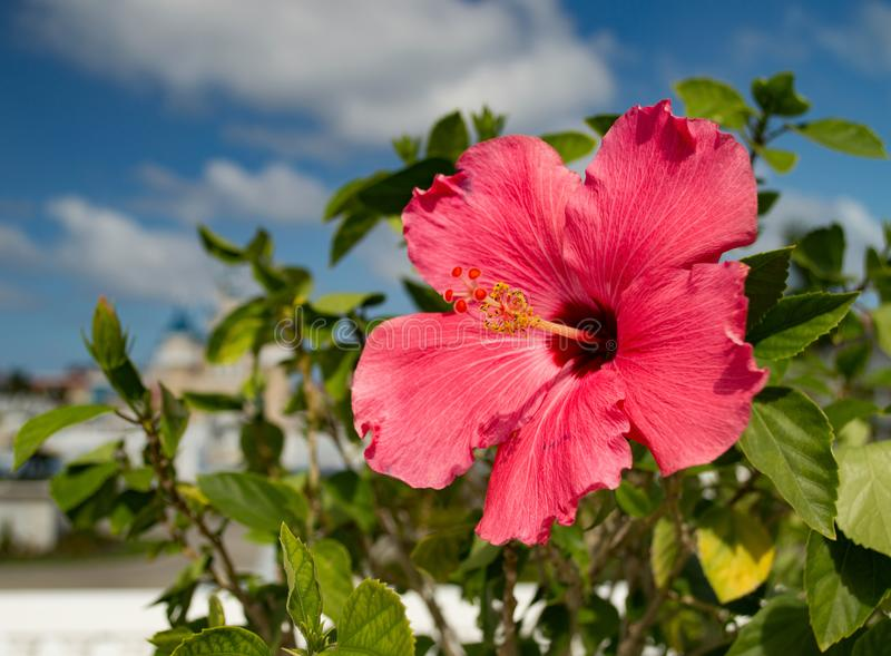 A beautiful, bright, gorgeous large red hibiscus in flower in the Caribbean. A beautiful, bright, gorgeous large red hibiscus in flower in a natural tropical royalty free stock image