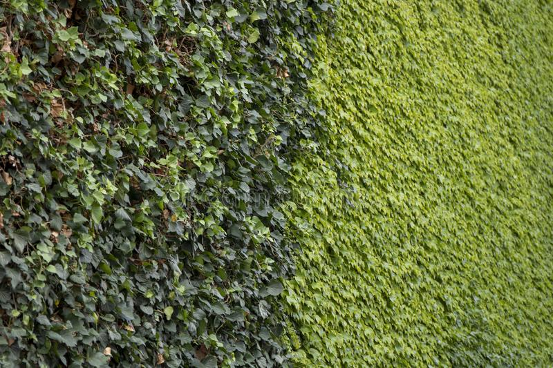 Beautiful bright green ivy leaves background. Dark and pale leaves on the wall.  stock image