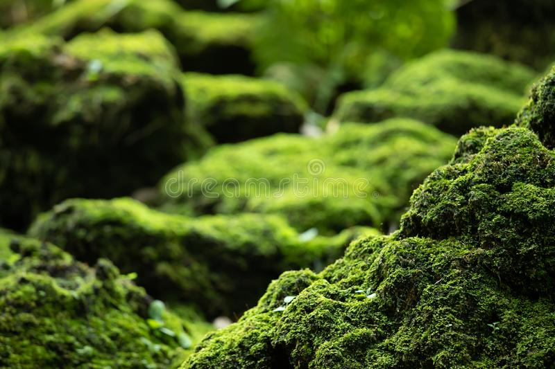 Beautiful Bright Green moss grown up cover the rough stones and on the floor in the forest. Show with macro view. royalty free stock images