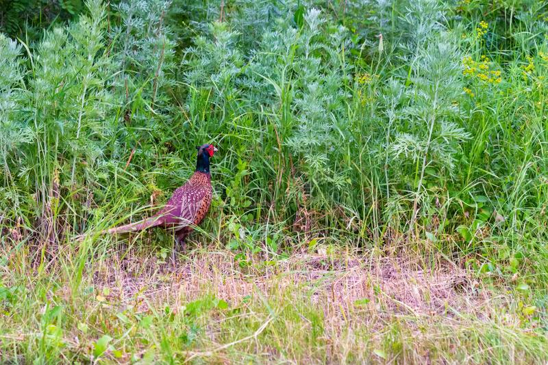 Male Common pheasant or Phasianus colchicus in grass. Beautiful bright male Common pheasant or Phasianus colchicus walks in grass royalty free stock images