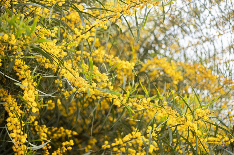mimosa tree yellow acacia flower branch background royalty free stock image