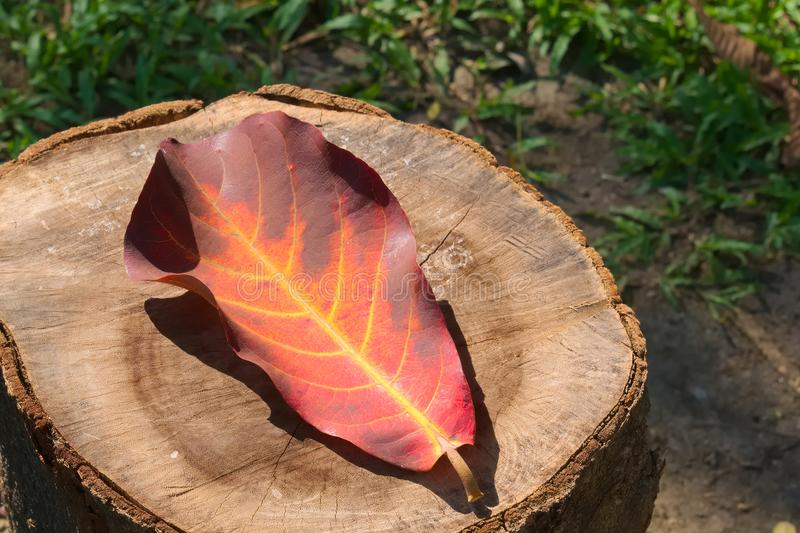 Beautiful, bright orange and brown large Thai leaf, fallen on a forest wood stump. royalty free stock photography
