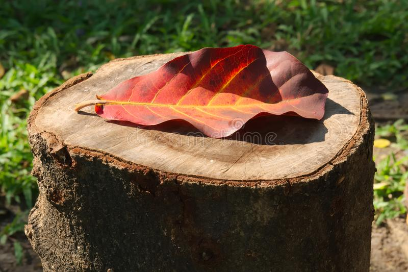 Beautiful, bright orange and brown large Thai leaf, fallen on a forest wood stump. royalty free stock photo