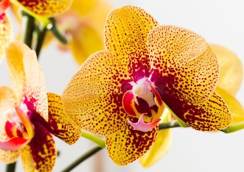 Beautiful bright orchid flower - close up photography of gorgeous house plant blossom on stem. Big yellow and pink bloom of phalaenopsis charmer on white royalty free stock images