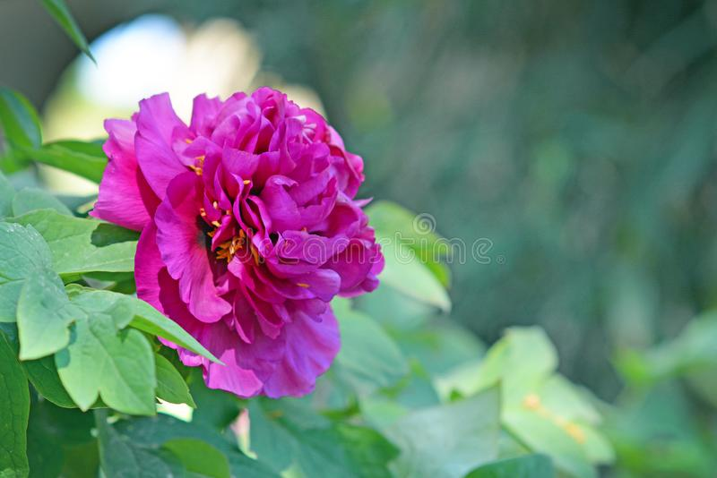 Beautiful bright pink Chinese peony flower in full bloom in early spring. On blurry leaf background stock image