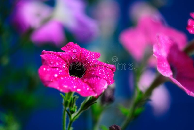 Beautiful bright pink flower shot close up on blue background with dew drops. On it after rain royalty free stock photos