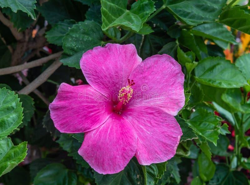 Beautiful bright pink hibiscus flower on Oahu. Hawaii stock photos