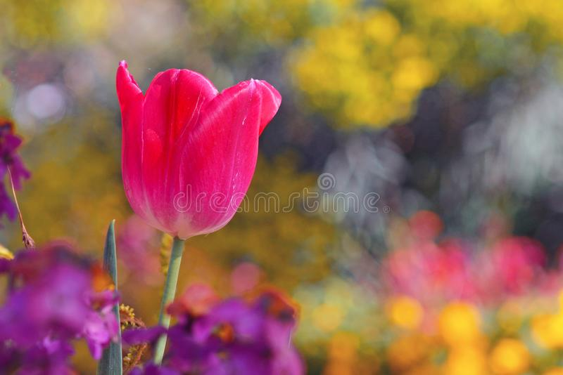 Beautiful bright pink tulip in middle of field with other spring flowers. On blurry background stock images