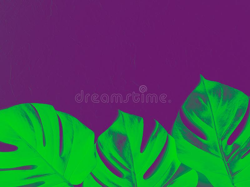 Monstera leaves on a purple background. stock photos