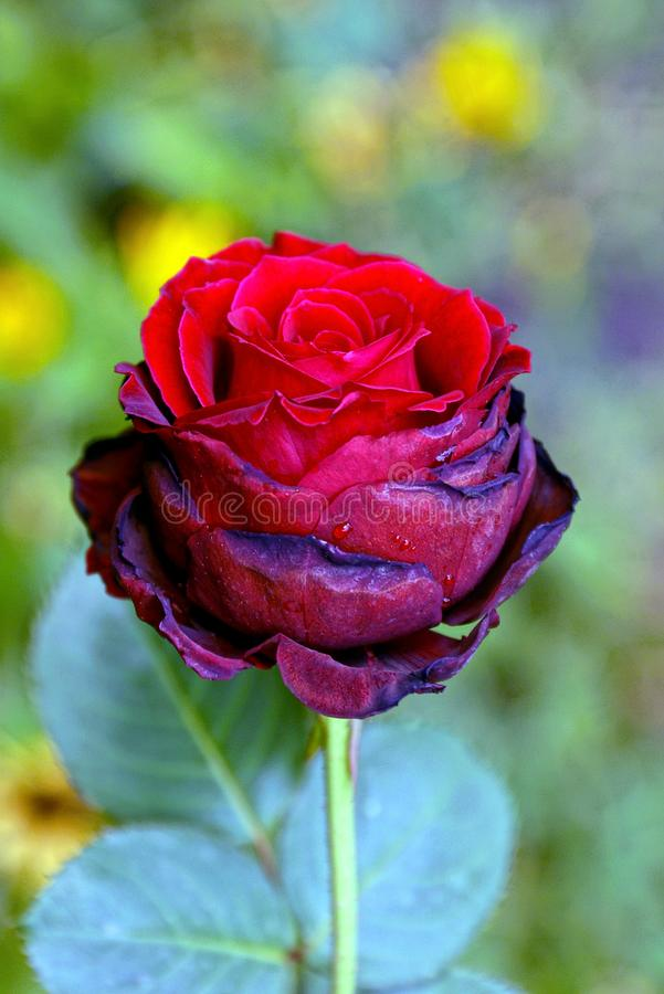 Beautiful bright red blossoming rose on a green stalk. A red rose bud on a green stem with leaves stock image