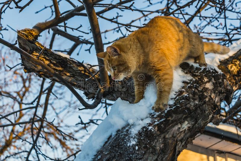 A beautiful bright red cat with yellow eyes and pink nose is on a tree with white snow and frost in winter. A beautiful bright red cat with yellow eyes and pink stock images