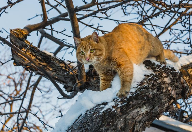 A beautiful bright red cat with yellow eyes and pink nose is on a tree with white snow and frost in winter. A beautiful bright red cat with yellow eyes and pink royalty free stock images