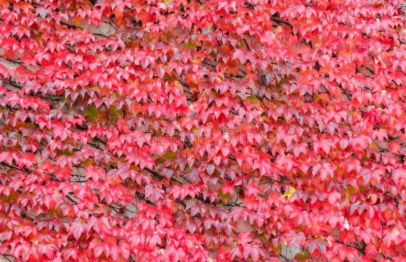 Beautiful bright red ivy background. Hedera or ivies vibrant red autumn leaves over stone wall for background or mockup. stock photos