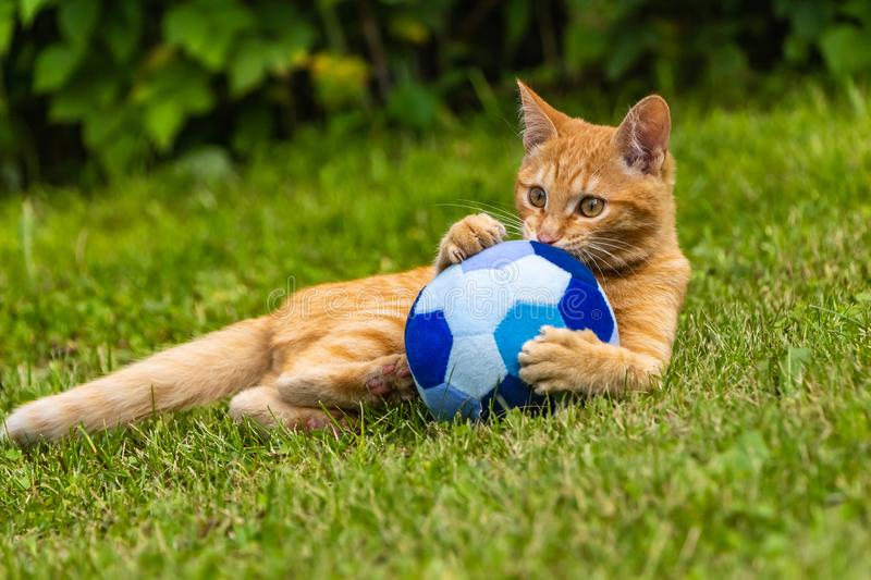 A beautiful bright red kitten with yellow eyes and pink nose plays with a soft toy blue ball on the green grass. And expressively looks in the direction in the stock photography