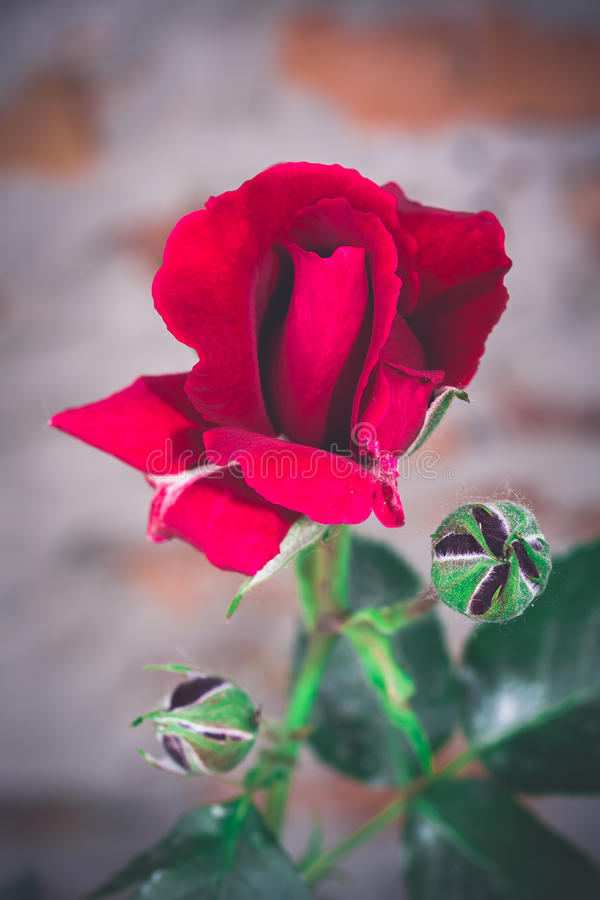 Beautiful bright red rose royalty free stock photo