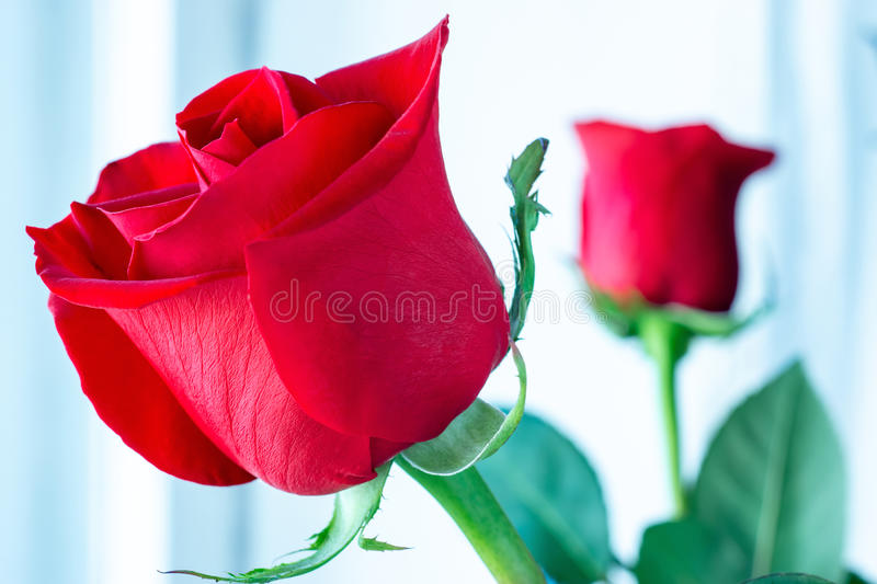 Beautiful and bright red roses stock photography