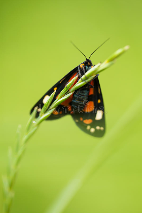 A beautiful, bright spotted butterfly sitting on a grass in summer evening. royalty free stock photos