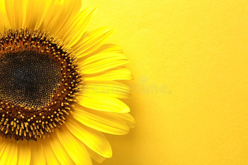 Beautiful bright sunflower on color background,. Top view stock photos