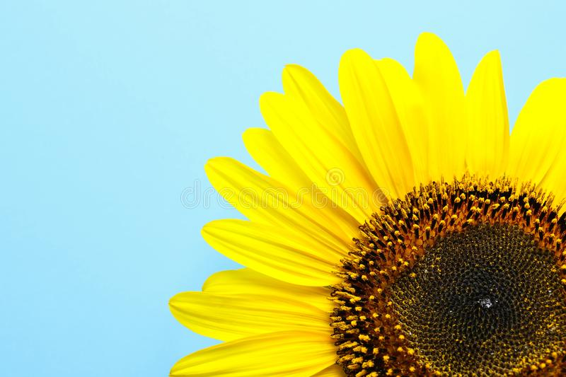 Beautiful bright sunflower on color background. Top view stock photo