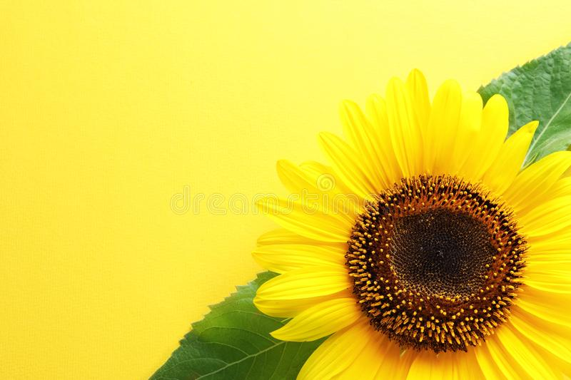 Beautiful bright sunflower on color background top view. Beautiful bright sunflower on color background, top view stock photo
