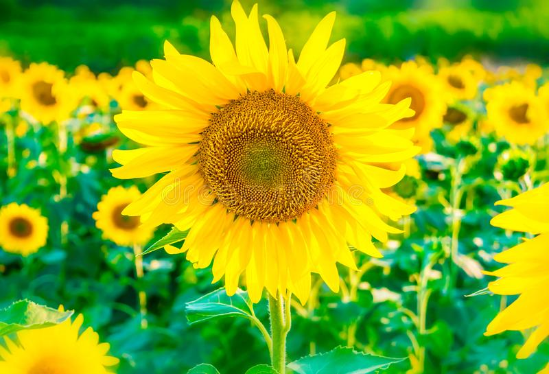 Beautiful bright sunflower field background with one big blooming yellow flower in focus. stock image