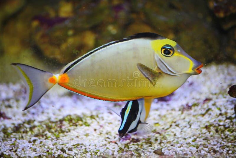Beautiful bright tropical aquarium fish. An emperor colorful tropical sea-fish. royalty free stock photo