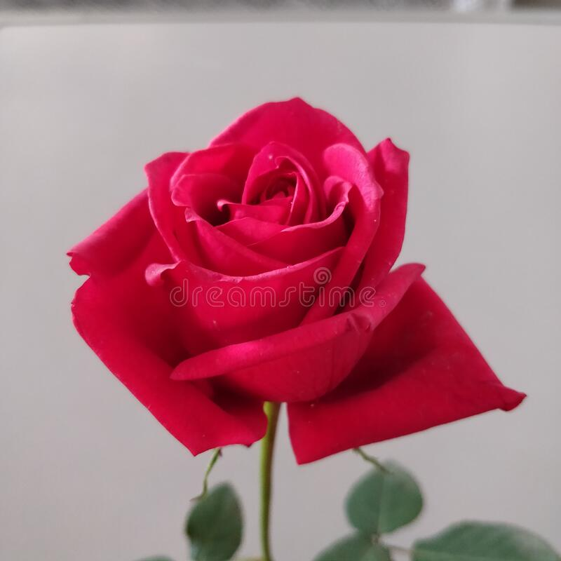 Beautiful, bright and vibrant, half bloomed red coloured rose with green leaves. Love, admiration, Valentine's day. royalty free stock images