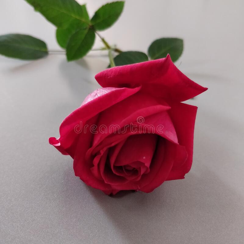 Beautiful, bright and vibrant, half bloomed red coloured rose with green leaves. Love, admiration, Valentine's day. stock image