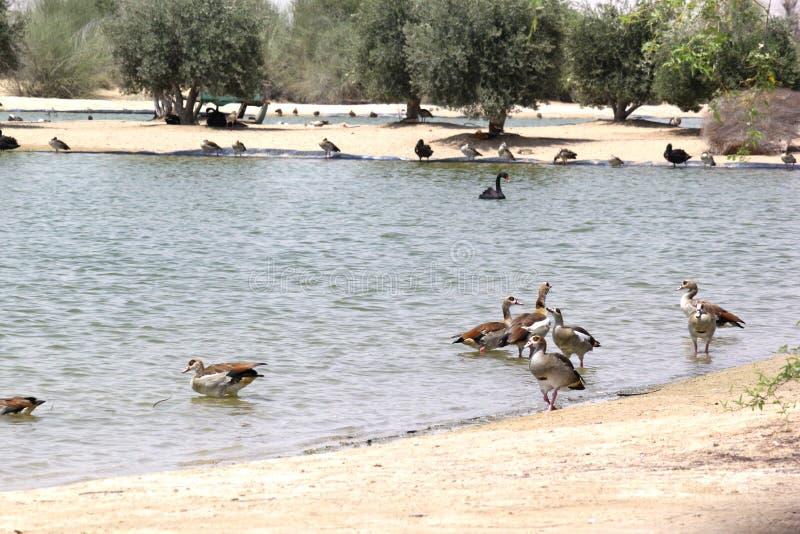 Beautiful Bright view of Al-Kudra Lake, UAE royalty free stock photos