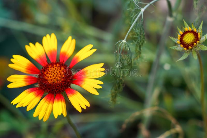 Beautiful bright flower helenium on blooming green meadow stock photos