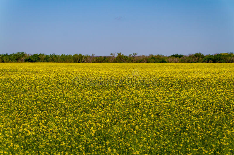 Beautiful Bright Yellow Flowering Field of Canola Plants royalty free stock photography
