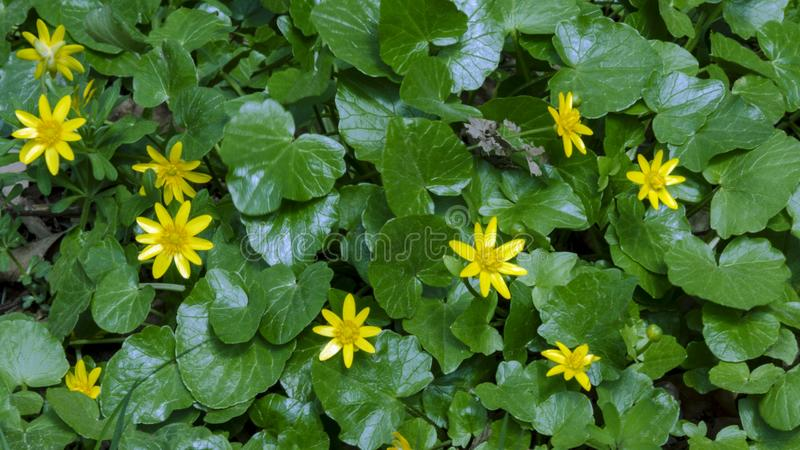 Beautiful bright yellow flowers in the spring forest stock photos