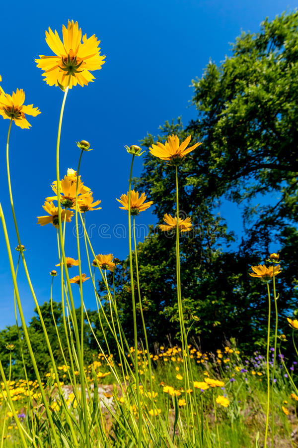 Beautiful Bright Yellow Lanceleaf Coresopsis Wildflowers in a Field. stock photos
