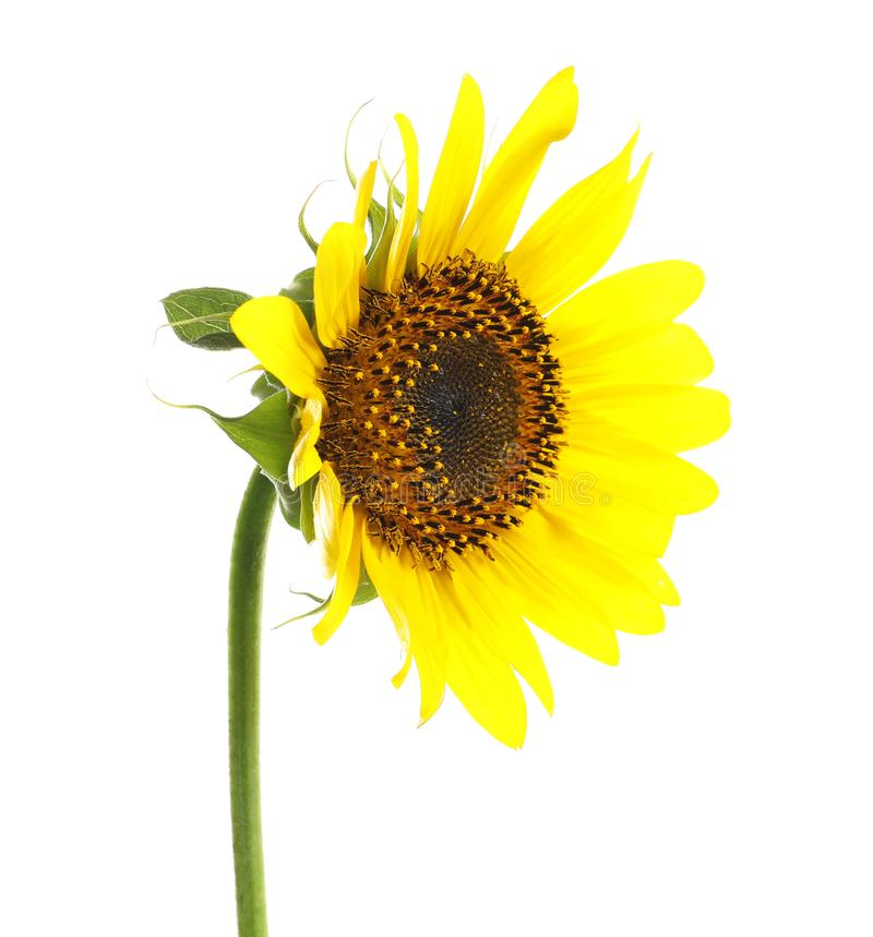 Beautiful bright yellow sunflower. On white background stock photos
