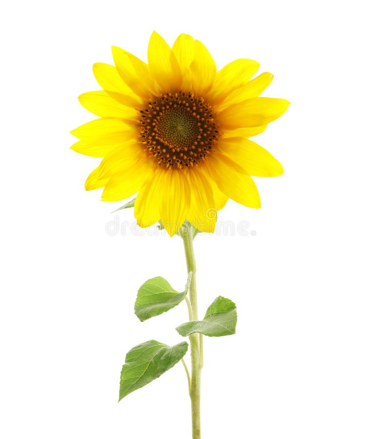 Beautiful bright yellow sunflower. On white background royalty free stock image