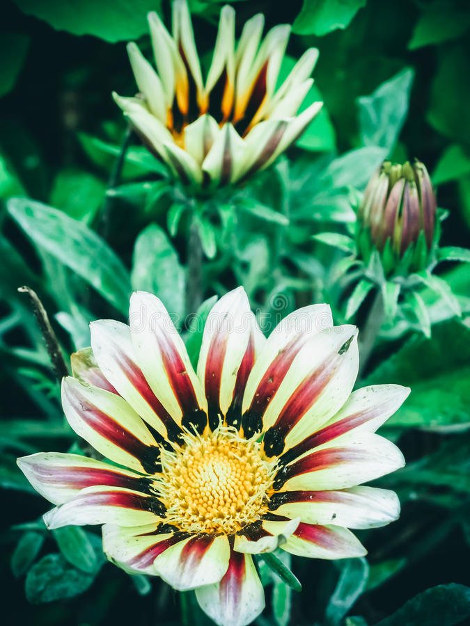 Beautiful bright yellow sunflower with red veins stock photo