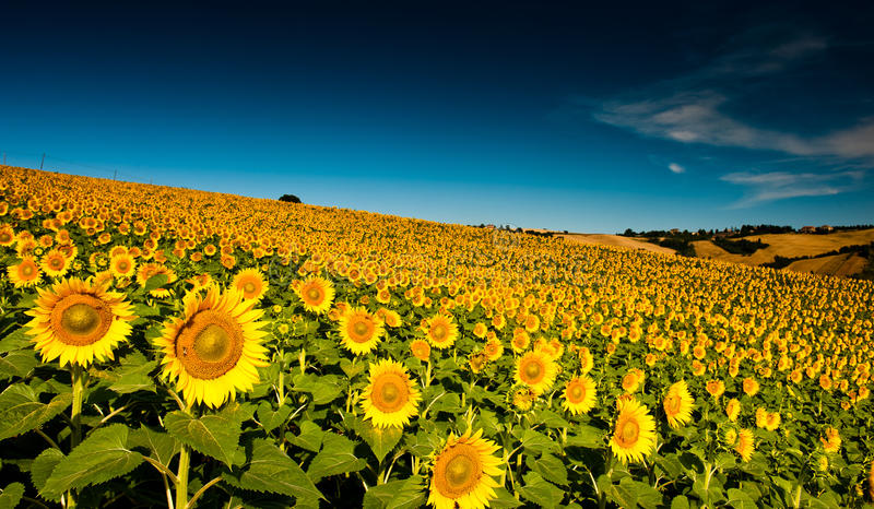 Beautiful bright yellow sunflowers royalty free stock images